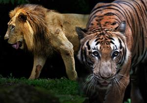 lion y tigre